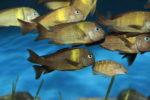 Rodzaj Tropheus– zachowanie i pielęgnacja w akwarium